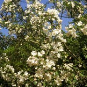 Malus hupehensis added by Shoot)
