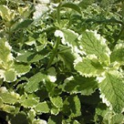'Variegata' is a spreading perennial with sweetly fragrant, irregular leaves with white variegation in summer. Mentha rotundifolia 'Variegata' added by Shoot)
