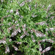 Mentha spicata added by Shoot)