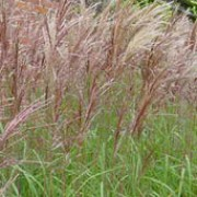 'Malepartus' is a deciduous grass with narrow, arching leaves, and gold-brown flower panicles in late summer, turning to a flushed red in autumn. Miscanthus sinensis 'Malepartus' added by Shoot)