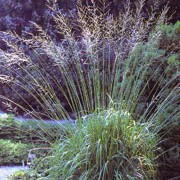 'Karl Foerster' is a clump-forming deciduous tufted grass with open, linear leaves which turn yellow in autumn. Fine purple flower panicles in summer. Molinia caerulea subsp. arundinacea 'Karl Foerster' added by Shoot)