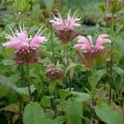 Monarda 'Beauty of Cobham' added by Shoot)