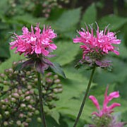 Monarda 'Croftway Pink' added by Shoot)
