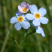 Myosotis scorpioides added by Shoot)