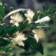 Myrtus communis added by Shoot)