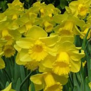 N. 'Arkle' is a bulbous perennial with strap-shaped leaves and large, single, dark-yellow flowers in spring. Narcissus 'Arkle' added by Shoot)