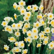 N. 'Avalanche' is a bulbous perennial with strap-shaped leaves and clusters of fragrant, white flowers with yellow-ringed cups in spring. Narcissus 'Avalanche' added by Shoot)