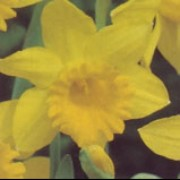 N. 'Barnum' is a bulbous perennial with strap-shaped leaves and single, golden-yellow flowers in spring. Narcissus 'Barnum' added by Shoot)