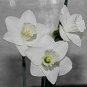 N. 'Ben Hee' is a bulbous perennial with strap-shaped leaves and single, large white flowers in spring. Narcissus 'Ben Hee' added by Shoot)