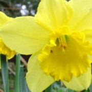 N. 'Bram Warnaar' is a bulbous perennial with strap-shaped leaves and single, large, golden-yellow flowers in mid-spring. Narcissus 'Bram Warnaar' added by Shoot)
