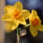 N. 'Bunting' is a bulbous perennial with cylindrical, linear leaves and several light-yellow flowers with orange cups on tall stems in spring. Narcissus 'Bunting' added by Shoot)