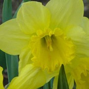 N. 'Carlton' is a bulbous perennial with strap-shaped leaves and single, trumpet-shaped, yellow flowers in spring. Narcissus 'Carlton' added by Shoot)