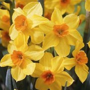 N. 'Falconet' is a bulbous perennial with umbels of yellow flowers with small, orange cups in spring. Narcissus 'Falconet' added by Shoot)