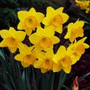 'Fortune' is a bulbous perennial with strap-shaped leaves and single, bright-yellow flowers with orange-yellow cups in spring. Narcissus 'Fortune' added by Shoot)