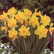 N. 'Golden Rapture' is a bulbous perennial with strap-shaped leaves and single yellow flowers with darker yellow trumpets in spring. Narcissus 'Golden Rapture' added by Shoot)