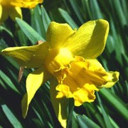 N. 'Grasmere' is a bulbous perennial with strap-shaped leaves and single, pale-yellow, trumpet-shaped flowers in spring. Narcissus 'Grasmere' added by Shoot)