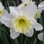 'Ice Follies' is a bulbous perennial with strap-shaped leaves and clusters of fragrant, white flowers with pale yellow ruffled cups in spring fading to white. Narcissus 'Ice Follies' added by Shoot)