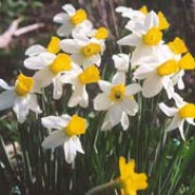 'Jenny' is a creamy-white daffodil with a yellow trumpet. Narcissus 'Jenny' added by Shoot)