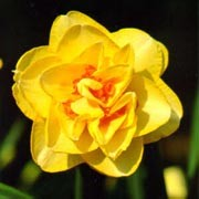 'Tahiti' has strap-shaped leaves and double deep-yellow, double flowers and smaller, deep orange inner segments. Narcissus 'Tahiti' added by Shoot)