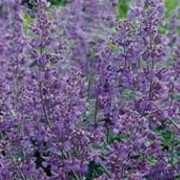 Nepeta 'Six Hills Giant' added by Shoot)