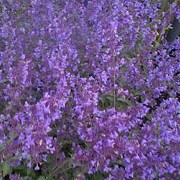 Nepeta racemosa added by Shoot)