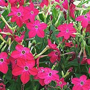 'Domino Red' is a biennial grown for its eye-catching deep-red, long tubular, fragrant flowers that are produced from late summer to autumn. Nicotiana affinis 'Domino Red' added by Shoot)