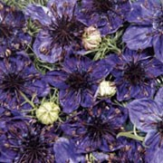 'Midnight' is a tall annual, with feathery foliage and dark-purple flowers that open up with very ornamental, spider-like seed pods in the centre. Nigella hispanica 'Midnight' added by Shoot)