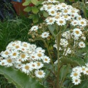 Olearia macrodonta added by Shoot)