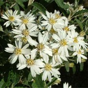 Olearia x scilloniensis added by Shoot)