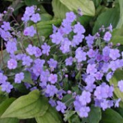 Omphalodes cappadocica added by Shoot)
