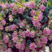 Origanum rotundifolium added by Shoot)