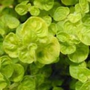'Aureum' is a woody perennial herb with bright golden-yellow leaves, and light pink tubular flowers in summer. Origanum vulgare 'Aureum' added by Shoot)