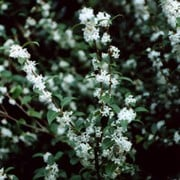 Osmanthus delavayi added by Shoot)