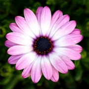 Osteospermum jucundum added by Shoot)