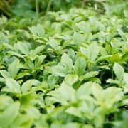 P. terminalis 'Green Carpet' is a low-growing, evergreen sub-shrub with glossy, toothed foliage and spikes of small, white flowers in summer. Pachysandra terminalis 'Green Carpet' added by Shoot)