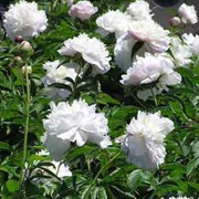 'Shirley Temple' is the white peony everyone loves. With fully-double, rounded flowers, the mature bush covers itself with huge blooms.  Paeonia 'Shirley Temple' added by Shoot)