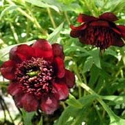 Paeonia delavayi added by Shoot)