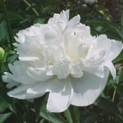 Paeonia lactiflora 'Duchesse de Nemours' added by Shoot)