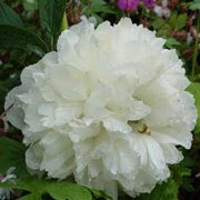'Alba plena' is an herbaceous perennial with dark green leaves and double, white flowers in summer. Paeonia officinalis L. 'Alba plena' added by Shoot)
