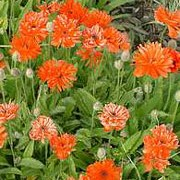 'Fireball' is a perennial with unusual, semi-double bright orange flowers in late spring and early summer. Papaver lateritium 'Fireball' added by Shoot)