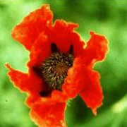 P. orientale 'John III' is an herbaceous perennial with finely-divided foliage and papery, orange-red flowers with black centres in spring and summer. Papaver orientale 'John III' added by Shoot)