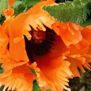 P. orientale 'Leuchtfeuer' is an herbaceous perennial with finely-divided foliage and papery, bright, orange-red flowers with black centres in spring and summer. Papaver orientale 'Leuchtfeuer' added by Shoot)