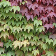 Parthenocissus tricuspidata added by Shoot)
