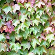 'Robusta' is a very vigorous, self-clinging, deciduous, climbing ivy with leaves which turn spectacular shades of red in autumn. Sometimes inconspicuous flowers and dull-blue berries. Parthenocissus tricuspidata 'Robusta' added by Shoot)