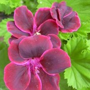 Pelargonium 'Lord Bute'