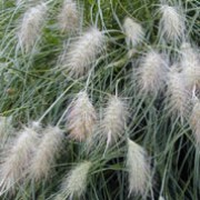 Pennisetum villosum added by Shoot)