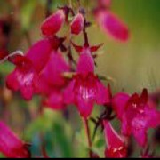 Penstemon 'Andenken an Friedrich Hahn' added by Shoot)