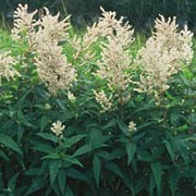 Persicaria polymorpha added by Shoot)