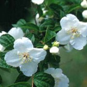 P. 'Beauclerk' is a deciduous shrub with ovate leaves and racemes of fragrant, white flowers, purple-tinged in the centre, in summer. Philadelphus 'Beauclerk' added by Shoot)