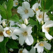 'Belle Etoile' has arching growth with ovate leaves and strongly scented single white flowers, flushed purple in the centre. Philadelphus 'Belle Etoile' added by Shoot)